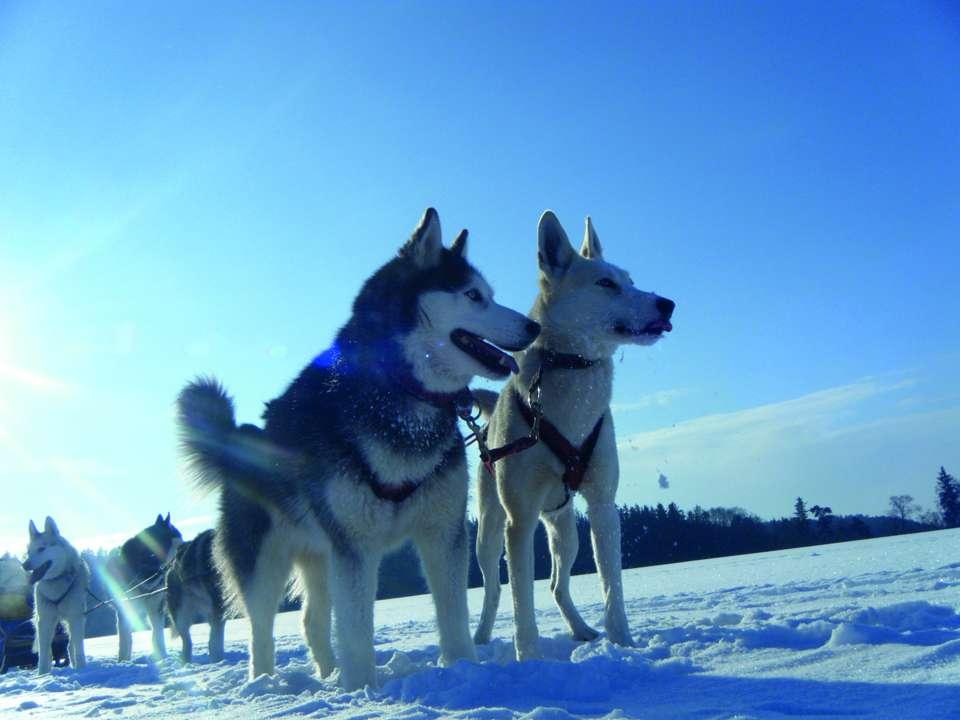 txn-p. Acht Huskys, verschneite Landschaften und stabile Schlitten: Alaska-Feeling können Hundefreunde auch in Deutschland erleben. Foto: jochen-schweizer.de/Nico Radant